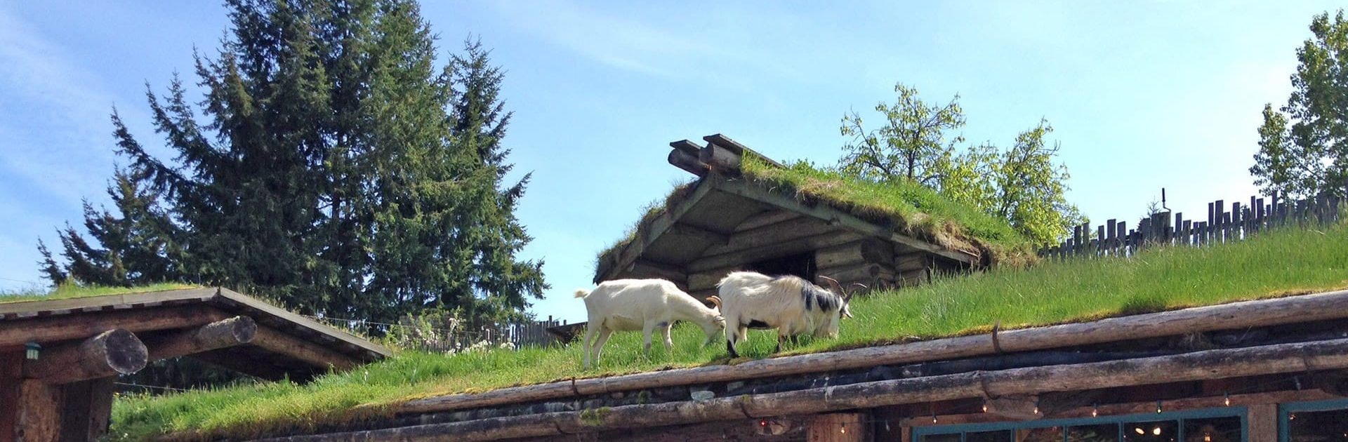 Goats on the roof in Coombs BC